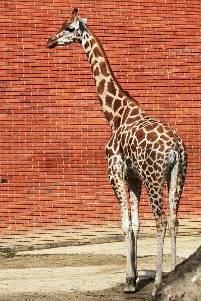 Iveco žirafa 3